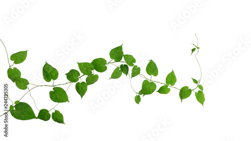 Fotografia Heart shaped green green leaves climbing vines ivy of cowslip creeper (Telosma cordata) the creeper forest plant growing in wild isolated on white background, clipping path included