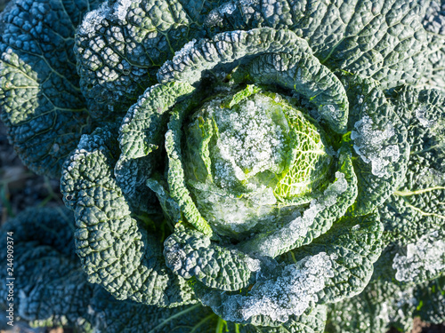 closeup of green cabbage with wintry frost