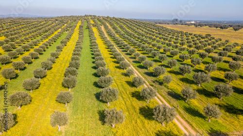 Obraz na płótnie Drone aerial view of olive grove in Alentejo Portugal