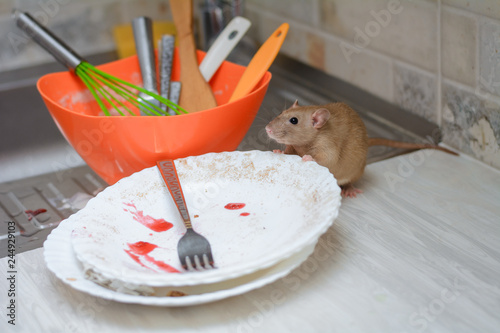 the rat eats the rest of the food from dirty dishes and kitchen utensils in the home kitchen. unsanitary conditions