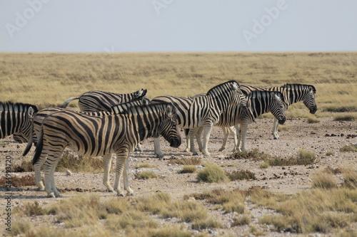 stado zebr wypasające się wśród traw sawanny