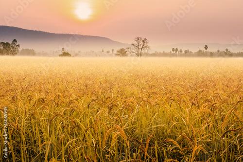 Fototapeta Beautiful morning fog in the rice fields.