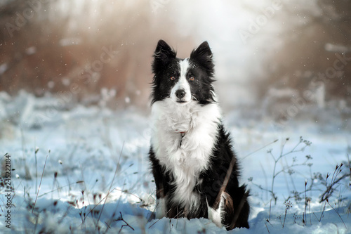 border collie dog beautiful winter portrait in a snowy forest magic light Fototapete