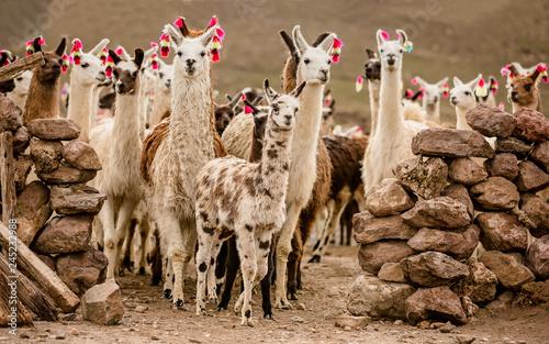 Canvas Print lama herd