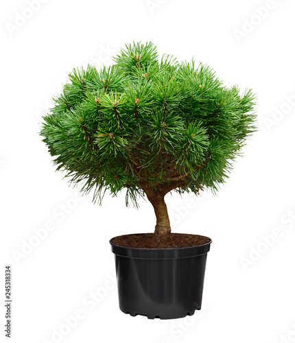 Green pine decorated in a pot  isolated on a white background