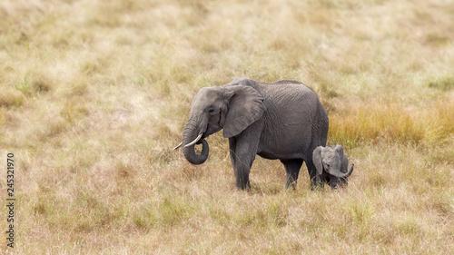 Fototapeta premium Słoń afrykański, matka i dziecko