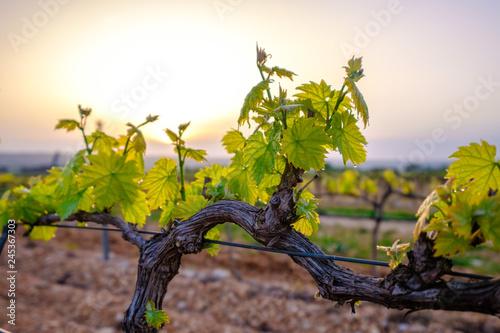 Fototapeta Branche de vigne au printemps gros plan. Lever de soleil.