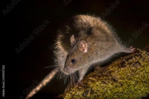 Obraz na płótnie Wild Brown rat at night