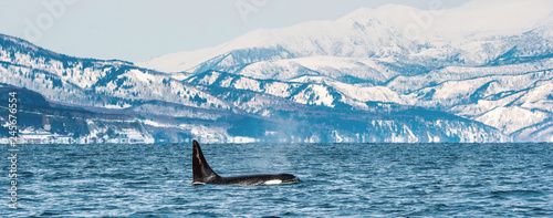 Orca or killer whale, Orcinus Orca, travelling in Sea of Okhotsk, Snow-covered mountains on the background.