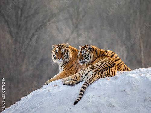 Fototapeta premium Para tygrysów syberyjskich na zaśnieżonym wzgórzu na tle zimowego lasu. Chiny. Harbin. Prowincja Mudanjiang. Park Hengdaohezi. Park Tygrysów Syberyjskich. Zimowy. Twardy mróz. (Panthera tgris altaica)
