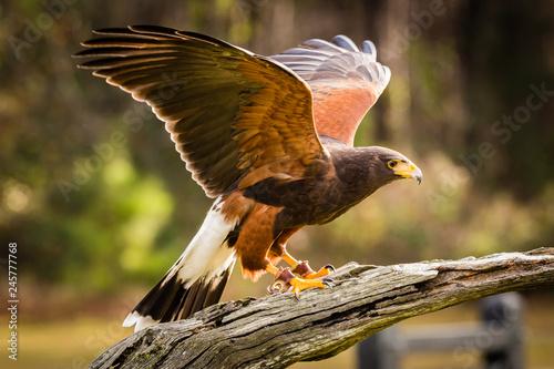 Valokuva Harris Hawk