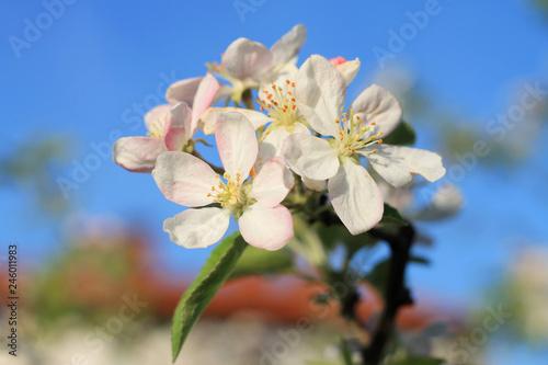 Spring blossom on plum tree
