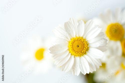 Obraz na plátně Chamomile or daisy flowers on white background.