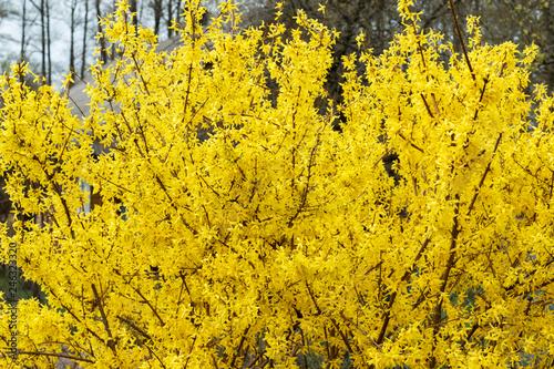 Fotografija Yellow bush, bloom, spring