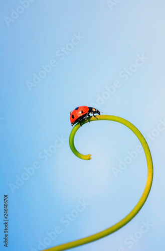 red ladybug crawling on the spiral blade of grass on the background of blue sky
