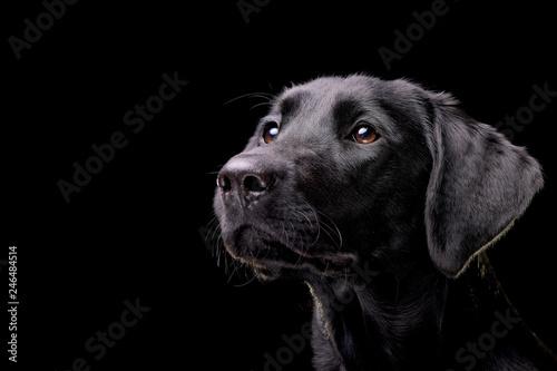 Canvas Print Portrait of an adorable Labrador retriever