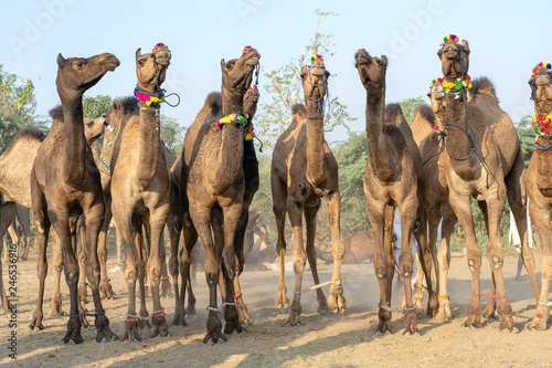 Camels in desert Thar during Pushkar Camel Fair, Rajasthan, India