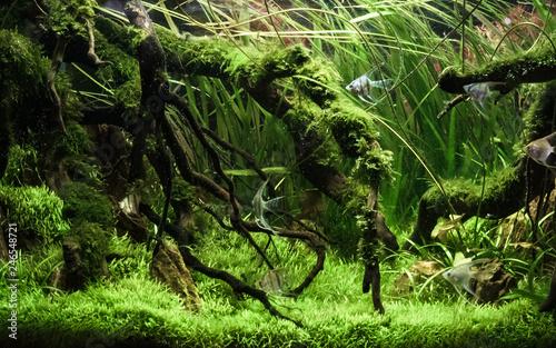 Fotografia Beautiful tropical aqua scape, Nature Aquarium green plant and tropical colorful fish in aquarium fish tank