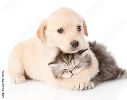 golden retriever puppy dog hugging british cat. isolated on white background