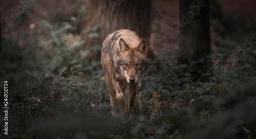 Fényképezés Wolf walking in the woods