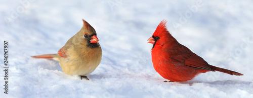Fényképezés couple of red cardinal in snow during winter