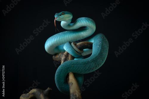 Photo blue insularis pit viper