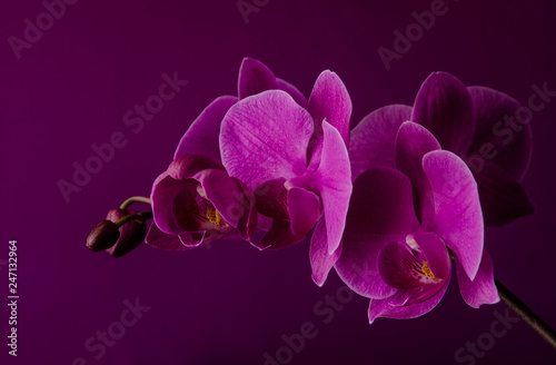 Wallpaper Mural Purple orchid on a dark violet background close up.