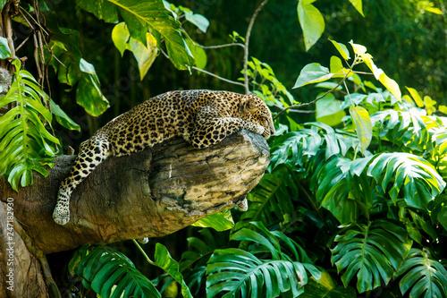 Naklejka na szafę Lampart na gałęzi dużego drzewa