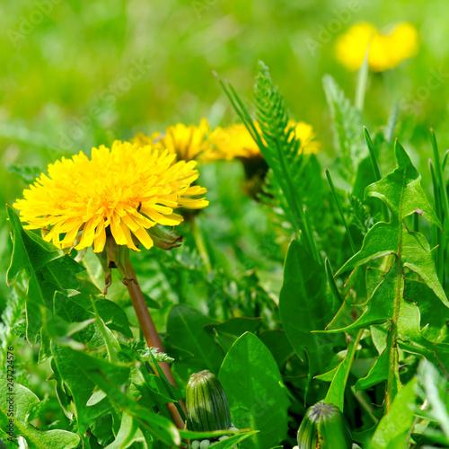 Yellow dandelions on a green meadow.