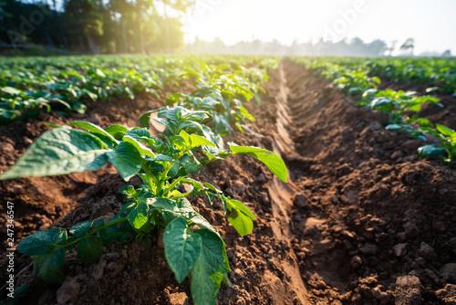 Carta da parati potato plant field