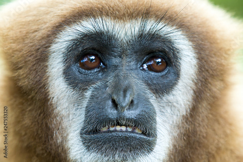 Fotografiet gibbon close- up face in zoo