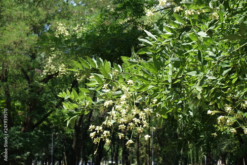Canvastavla Branches of Sophora japonica with white flowers