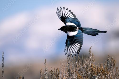 Canvas Print Black-billed magpie in Antelope Island, Utah