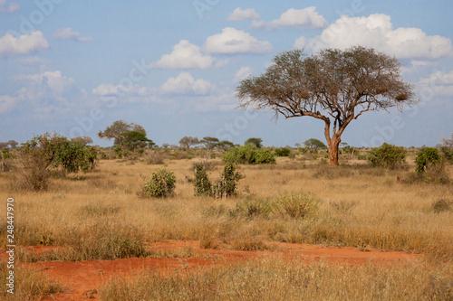 Fototapeta A big tree in the savannah between another plants