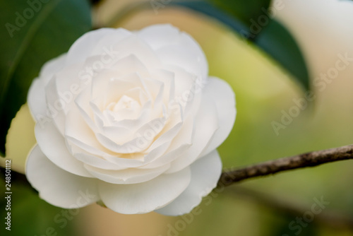 Billede på lærred Detail of Camelia flower