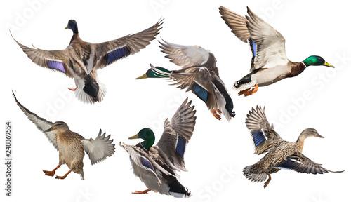 Fotografering six mallard ducks in flight on white