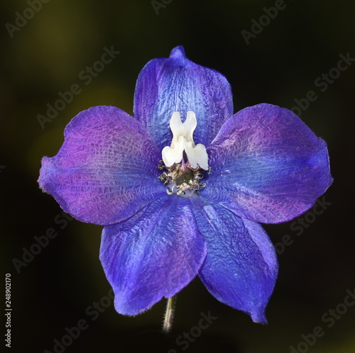 Photo Closeup on single blue Delphinium flower on black background