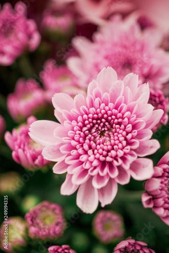 Billede på lærred Colorful chrysanthemum flower macro shot