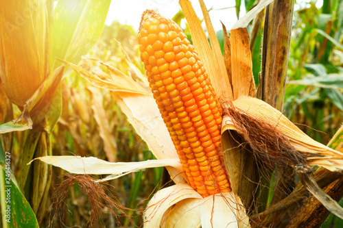 Ripe corn cob on tree wait for harvest in corn field agriculture Fotobehang