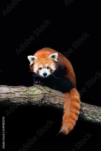 Red panda (Ailurus fulgens) isolated on black background Fototapeta