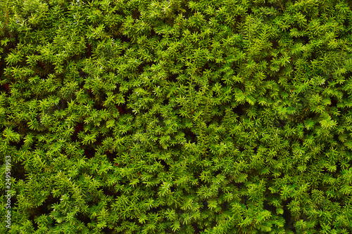Obraz na płótnie Hedge