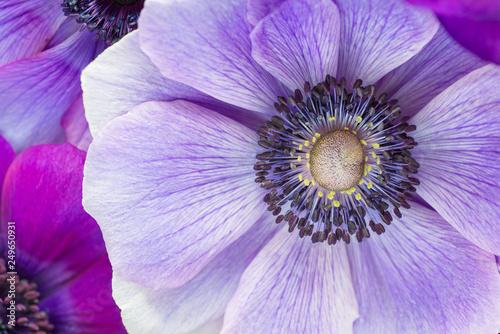 Beautiful macro of Japanese purple anemone flowers. Fototapet