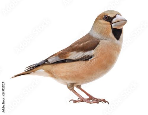 Female Hawfinch (Coccothraustes coccothraustes), isolated on white background Fototapeta