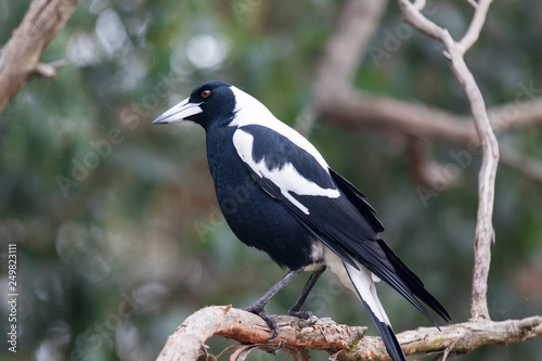 Wallpaper Mural An Australian Magpie, Gymnorhina tibicen, sitting on the branches of tree