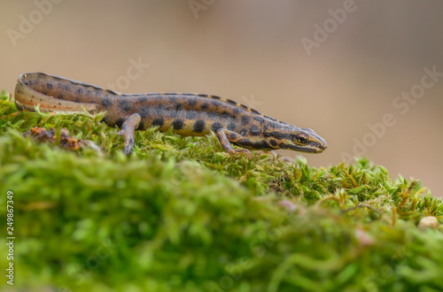 Stampa su Tela The smooth newt, also known as the common newt Lissotriton vulgaris formerly Tri