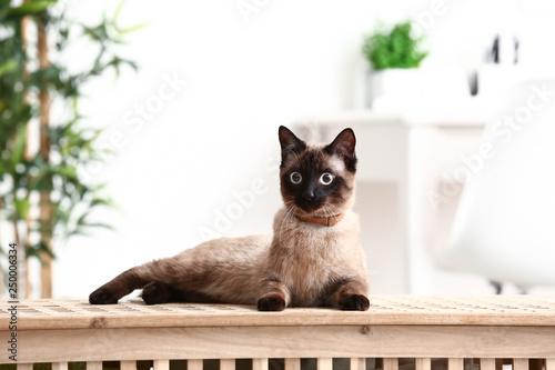 Obraz na płótnie Cute funny Thai cat at home