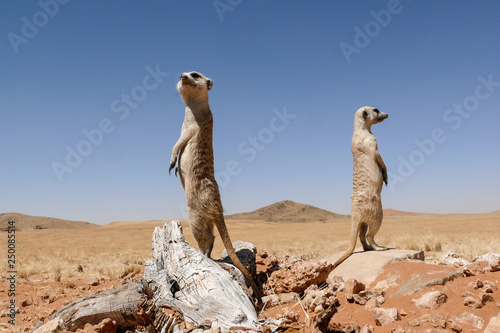 Photo two suricates on outlook looking very watchful