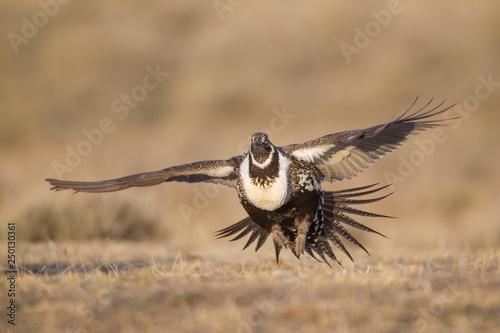 Valokuvatapetti Ssge Grouse in Wyoming