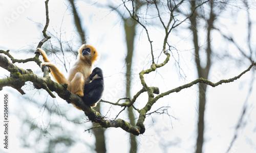 Photo Black crested gibbon (Nomascus concolor)
