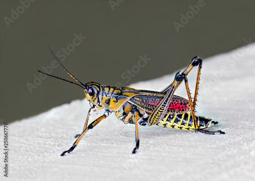 Fotografie, Obraz Southeastern Lubber Grasshopper